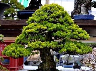Cây Thông bonsai