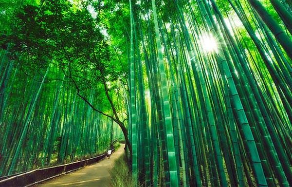 Đường trúc Sagano ở Nhật Bản