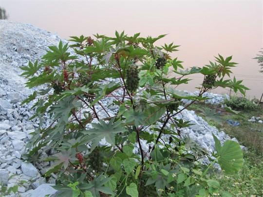 Thầu dầu,thầu dầu tía,Ricinus communis