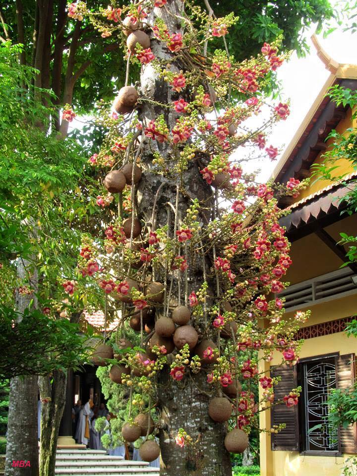 Ngọc kỳ lân,cây sala,Sa La,sala,cay sala,cây ngọc kỳ lân,cay ngoc ky lan,cây đầu lân,cây hàm rồng,Couroupita guianensis
