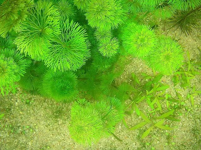 Rong lá ngò,tiềm liên,Cabomba caroliniana,cây thủy sinh