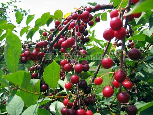 Cây Anh Đào Đen,cây anh đào đen, họ hồng, black cherry, cherry đen, hình ảnh cây anh đào đen, công dụng cây anh đào đen, cây anh đào đen chữa bệnh, cách chăm sóc cây anh đào đen,
