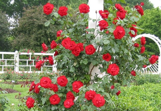 Hoa Hồng,hoa hong,hồng,hường,hoa hường,Rosa,rose,Rosaceae,hoa tình yêu,hồng gai,hồng đỏ,hồng trắng,hồng bạch,hồng nhung,hồng vàng,hồng phớt,hồng đậm,hồng thẫm,hồng cam,hồng viền trắng,hồng phấn,hồng tỉ muội,cây hoa,nữ chúa các loài hoa,hoa tường vi,Triparasundari,y nghia cua hoa hong