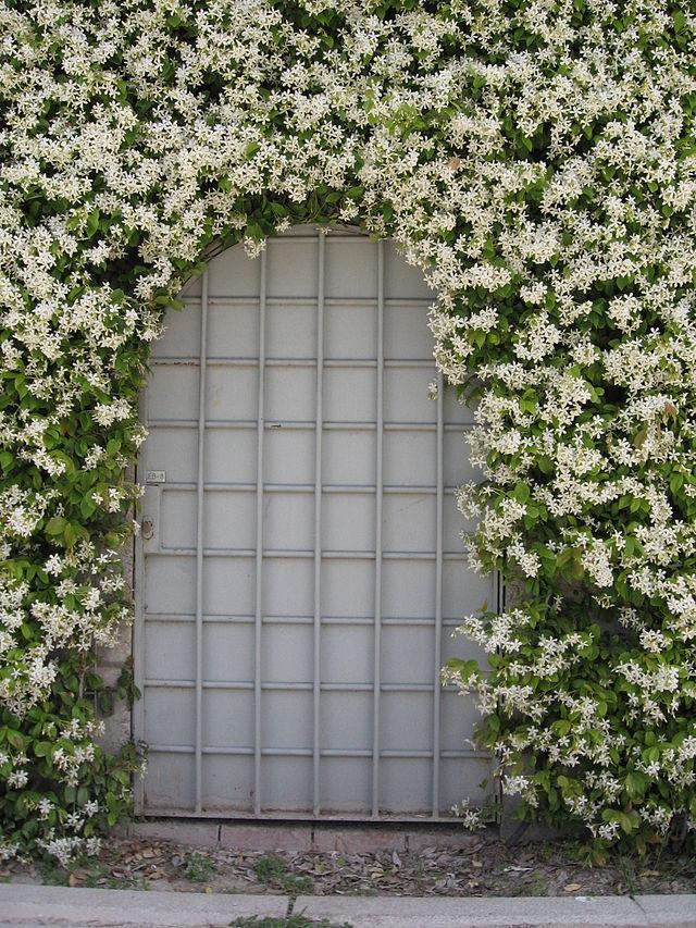 Cây mỏ sẻ,mỏ sẻ,hoa mỏ sẻ,cây hoa mỏ sẻ,lài sao,nhài sao,lạc thạch,trachelospermum jasminoides,họ la bố ma,họ dừa cạn,apocynaceae,cây leo