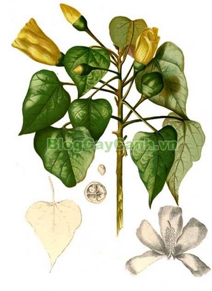 Cây Tra Lâm Vồ,cây tra lâm vồ, cây tra bồ đề, công dụng cây tra lâm vô,Thespesia populnea (L.) Soland, chi Thespesia, họ Malvaceae, họ Cẩm quỳ, bộ Malvales, Bộ Cẩm quỳ, bộ Bông,