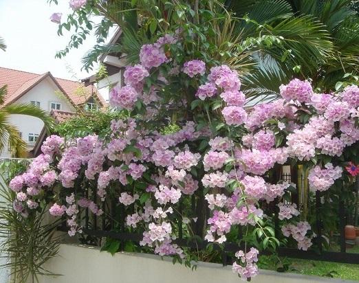 Cây hoa tỏi,lan tỏi,lý thái lan,thiên lý tỏi,ánh hồng tím,hoa bâng khuâng,Pachyptera hymenaea,Bignoniaceae,Bignonia floribunda Hort