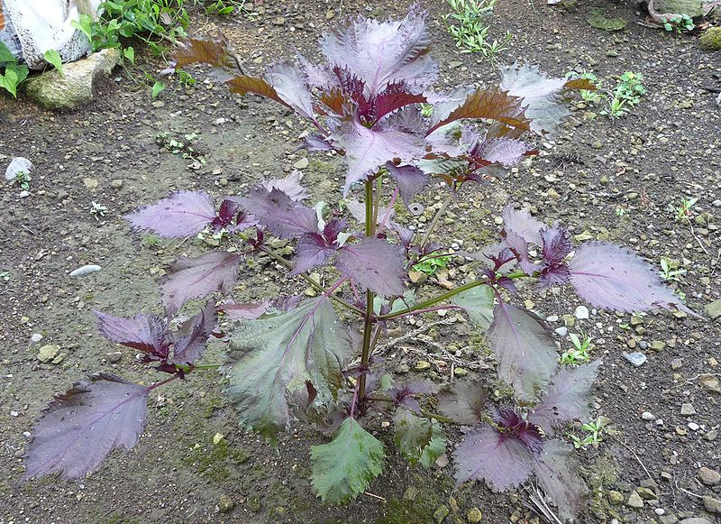 Tía tô,cây tía tô,tía tô cảnh,cây chữa bệnh,Perilla frutescens,Perilla macrostachya,Perilla ocymoides,Perilla urticifolia,Ocimum frutescens