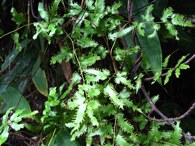 Bòng bong,thòng bong,thạch vĩ dây,dương vong,hải kim sa,Lygodium flexuosum Sw,Schizaeaceae,cây thuốc chữa bệnh