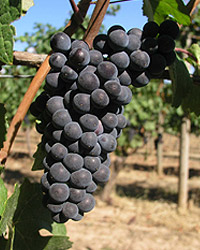 Giống nho Pinot Noir