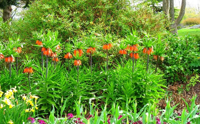 Hoa vương miện,hoa vương miện hoàng đế,Crown Imperial,Fritillaria Imperialis,Fritillaria,Liliaceae,họ hoa Lily