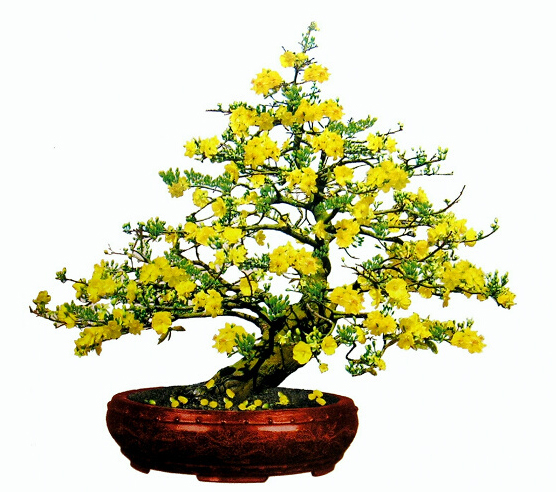 Hoa mai,cây mai,cành mai,hoa mai ngày Tết,sự tích hoa mai,sự tích hoa mai ngày Tết,Tết,Tết Nguyên Đán