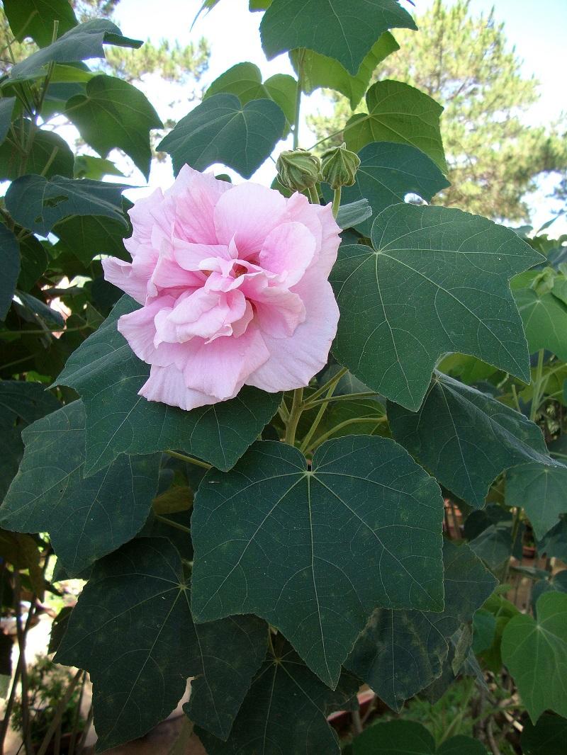 Hoa phù dung,phù dung,cây phù dung,phù dung thân mộc,mộc phù dung,địa phù dung,phù dung núi,hoa phù dung,mộc liên,túy phù dung,cây hoa,họ cẩm quỳ,Malvaceae