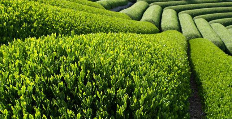 Cánh đồng chè xanh ở Trung Quốc