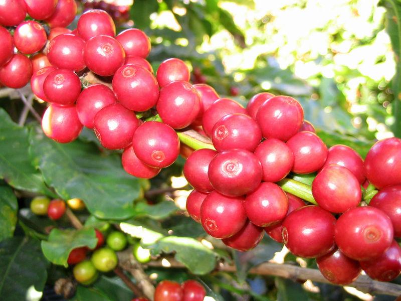 Cà phê,cây cà phê,coffee,cafe,họ thiến thảo,Rubiaceae,cà phê chè,Coffea arabica,cà phê vối,Coffea canephora,Coffea robusta,cà phê mít,Coffea liberica,Coffea excelsa,các loại cà phê,cà phê chồn