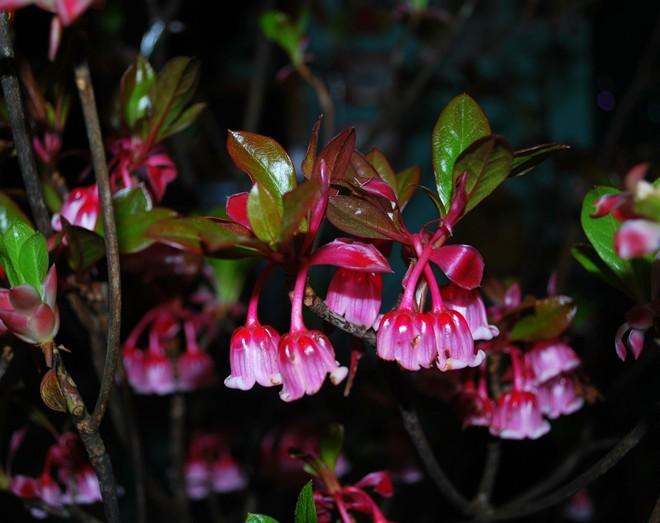 Hoa đào chuông,hoa dao chuong,đào chuông,dao chuong,đỗ quyên,Ericcaceae,Ericales,cây hoa,hoa đẹp,Magnoliopsida,Bà Nà,Bà Nà Hill,Đà Nẵng