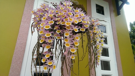 Hoa lan hoàng thảo long tu