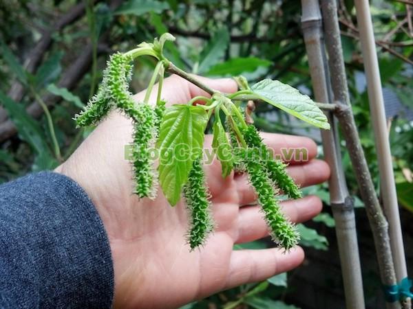 Cây Dâu Quả Dài,cây dâu quả dài, hình ảnh cây dâu quả dài, công dụng của cây dâu quả dài, cây dâu trái dài, cây dâu quả dài Đài Loan, cây dâu đài loan, cay dau qua dai,