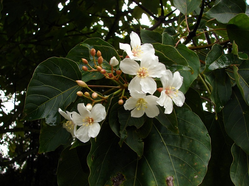 Cây trẩu,trẩu,trẩu nhăn,lai,quả trẩu,hoa trẩu,vernicia montana,loài cây mộc