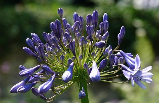 Hoa thanh anh,cây thanh anh,thanh anh,huệ sông Nin,hoa Arapang,Agaphanthus umbellatus,họ Hành,Alliaceae
