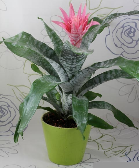 Dứa cảnh gai hồng,dứa cảnh,dứa que diêm,Aechmea fasciata,họ dứa,Bromeliaceae