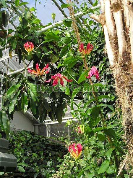 Cây Ngót Nghẻo (Cây ngọt nghẹo),Cây ngót nghẻo, công dụng cây ngót nghẻo, cây ngọt nghẹo, cây huệ lồng đèn, cây gia lan, cây Gloriosa superba, G. simplex,họ Colchicaceae,