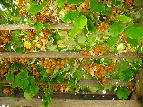 Kiwi,dương đào,cây kiwi,cây dương đào,Actinidia deliciosa,Chinese gooseberry,fuzzy kiwi,cây leo,cây ăn quả,Actinidia