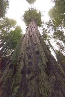 Cây Hyperion (California),cây nhiều tuổi nhất thế giới