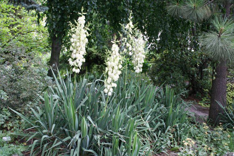 Cây ngọc giá,ngọc giá,cay ngoc gia,cây ngoại thất,Yucca Filamentosa,họ măng tây,họ thiên môn đông,Asparagaceae