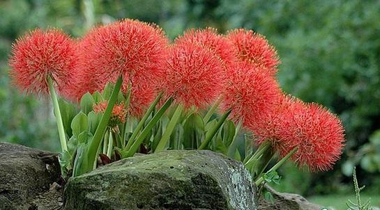 Hồng Tú Cầu,hong tu cau,huyết hoa,hoa quốc khánh,pháo hoa,pháo hồng,pháo bông,Scadoxus multiflorus,Haemanthus multiflorus