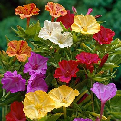 Hoa bông phấn,bông phấn,hoa phấn,yên chi,sâm ớt,hoa sâm ớt,bông bốn giờ,Mirabilis jalapa