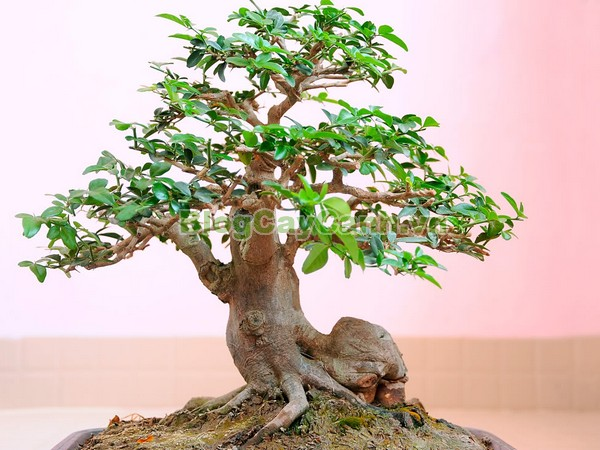 Cây Kim Quýt,Triphasia trifolata, cây kim quýt, hình ảnh cây kim quýt, cây kim quýt bonsai, cây bonsai, cay kim quyt bonsai, cây kim quýt đẹp, ý nghĩa cây kim quýt, cay kim quyt,