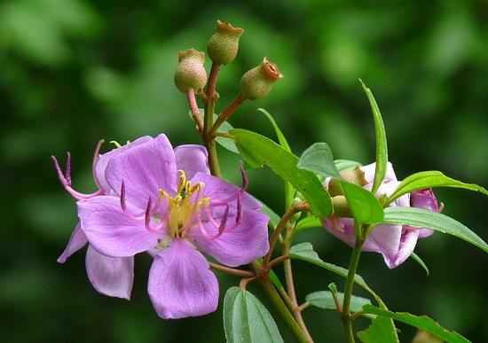 Hoa mua,hoa tím,hoa mua Đà Lạt,đồi hoa mua Đà Lạt,các loài hoa mua,cây hoa,cây bụi,Melastoma,Melastomataceae