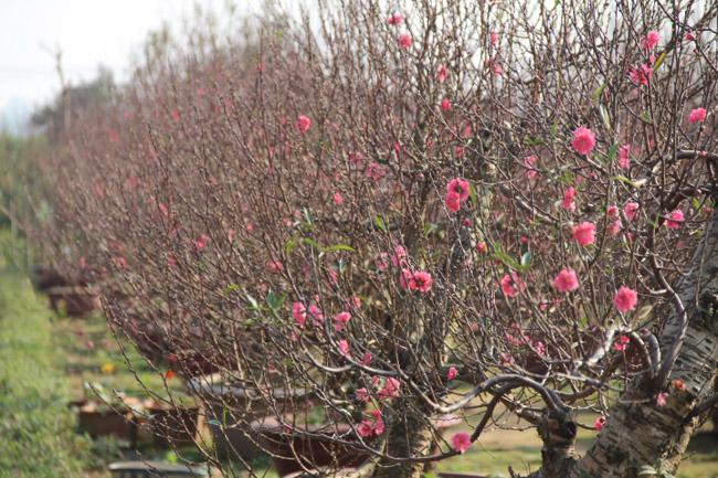 Hoa đào,hoa đào ngày Tết,cây đào,bích đào,đào phai,sự tích hoa đào,sự tích hoa đào ngày Tết,Tết,Tết Nguyên Đán,Prunus persica