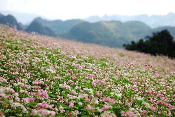 Hoa tam giác mạch,tam giác mạch,Lào Cai,Cao Bằng,Hà Giang,họ đậu,Fabaceae