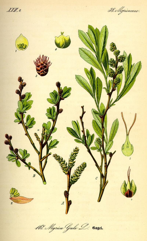 Họ thanh mai,thanh mai,họ dâu rượu,myricaceae