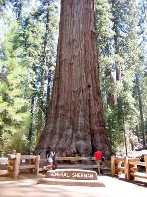 Cây General Sherman (California, Mỹ),cây nhiều tuổi nhất thế giới