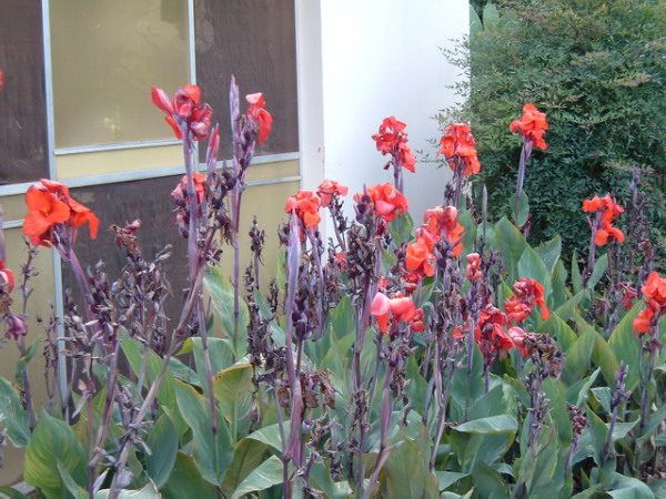 Chuối hoa