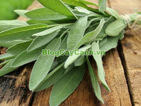 Cây Xô Thơm (Sage),Cây Xô Thơm,sage, Salvia officinalis,họ Hoa môi,Salvia sclarea,cây từ tô,