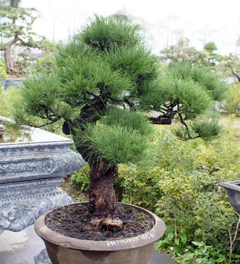 Cây Phi Lao bonsai