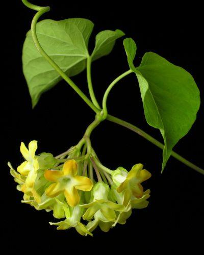 Hoa thiên lý,Telosma cordata,pakalana,Tonkin creeper,dạ lý hương,dạ lài hương