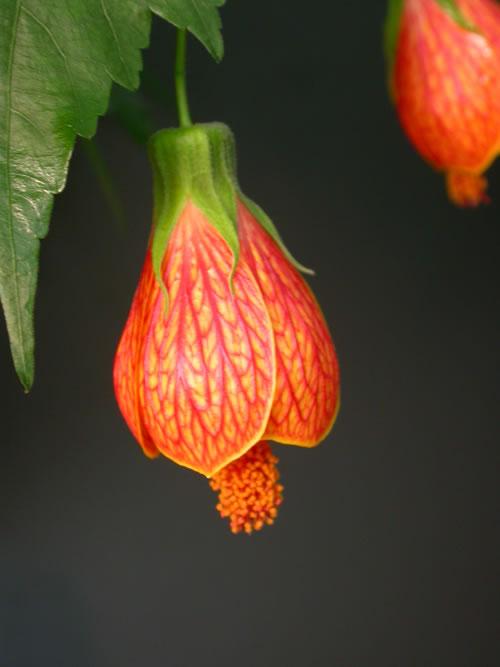 Hoa bụp lồng đèn,bụt lồng đèn,bụp lồng đèn,hoa dâm bụt,hoa râm bụt,bông bụt,bông bụp,Abutilon pictum,Flowering Maple,họ cẩm quỳ,Malvaceae