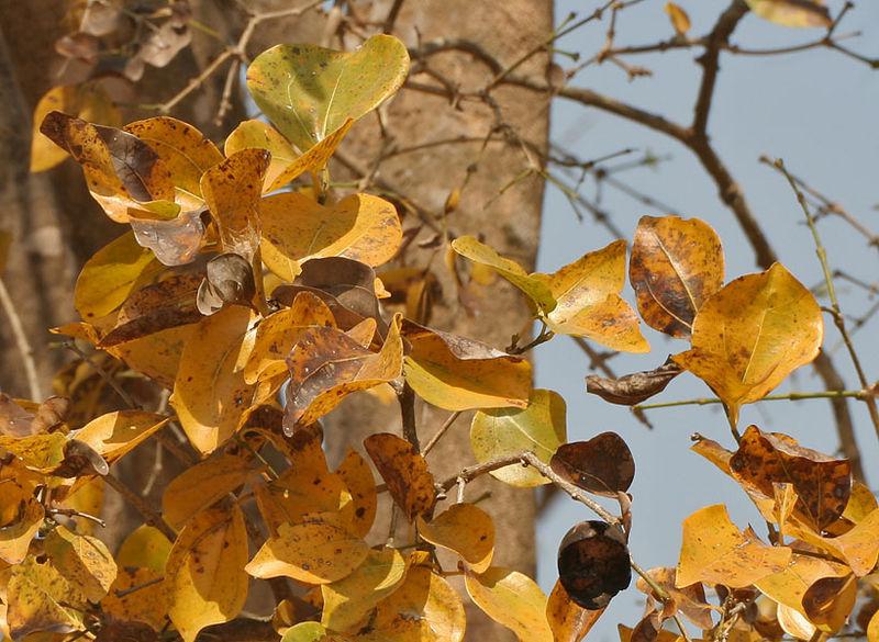 Mã tiền,cây mã tiền,cây củ chi,Strychnos nux-vomica,Strychnos colubrina,Strychnos lucida,Strychnos spireana,Strychnos vomica