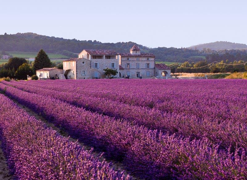 Cánh đồng hoa oải hương ở Anh và Pháp
