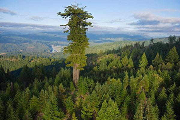 Tùng bách,redwood