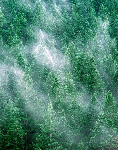 rừng linh sam douglas