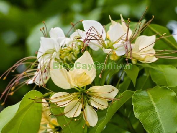Cây Bún,cây bún, chi Crateva, họ Bạch hoa, Màn Màn,capparaceae,họ Cáp, hình ảnh cây bún, cách chăm sóc cây bún,đặc điểm cây bún, cây bún hà nội, bún nước, cay bun,