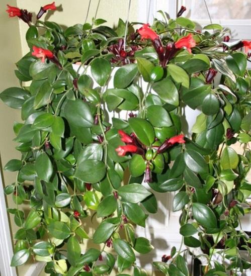 Cây Son Môi,Kim Ngư,cây Môi Son,lan Môi Son,lan Son Môi,cây Hoa Son Môi,Aeschynanthus lobbiana,Lipstick Plant,họ Tai Voi,Gesneriaceae
