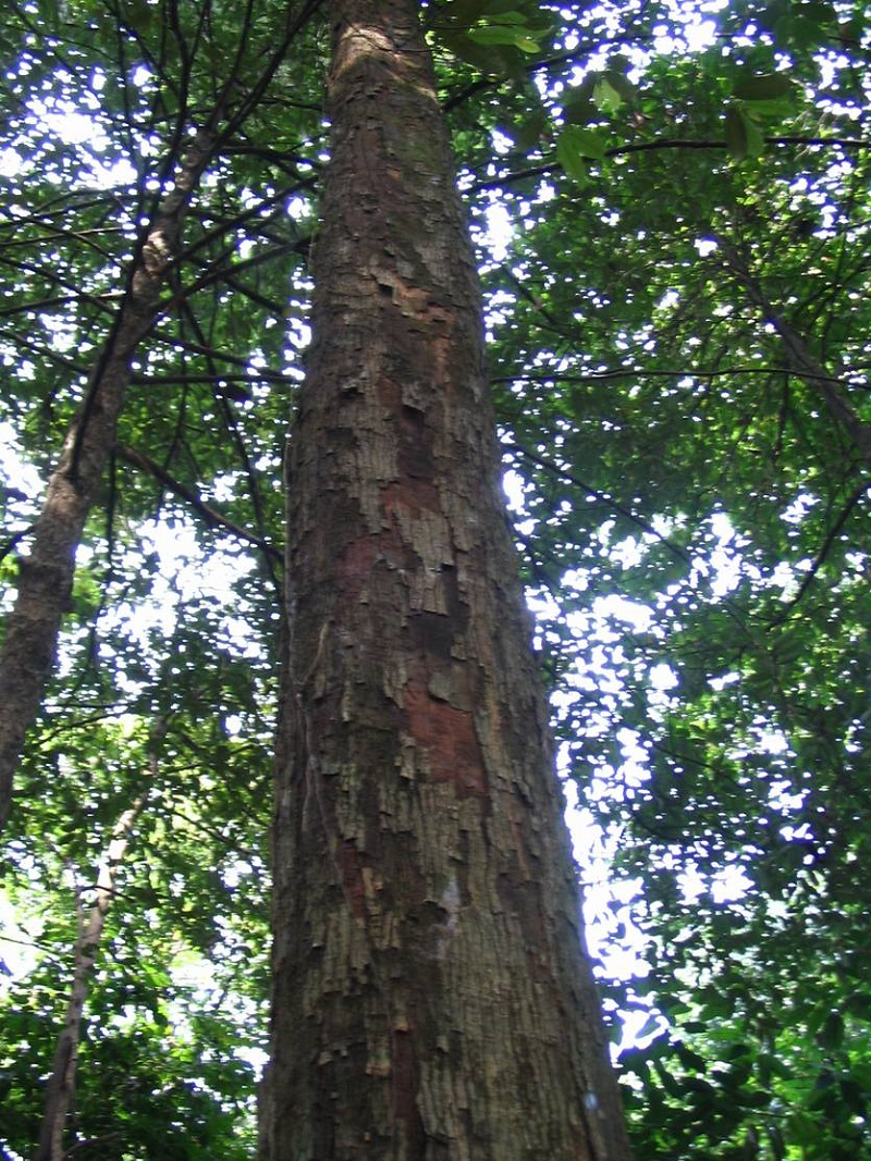 Cây Ươi,cây đười ươi,lười ươi,an nam tử,cây thạch,ươi bay,bàng đại hải,hương đào,lù noi,sam rang,som vang,đại đông quả,Scaphium macropodum,Sterculia lychnophora,Caryophyllum macropodum,Scaphium lychnophorum,Firmiana lychnophora,chi Ươi,họ phụ Trôm,họ Cẩm Quỳ,tác dụng y học của cây ươi
