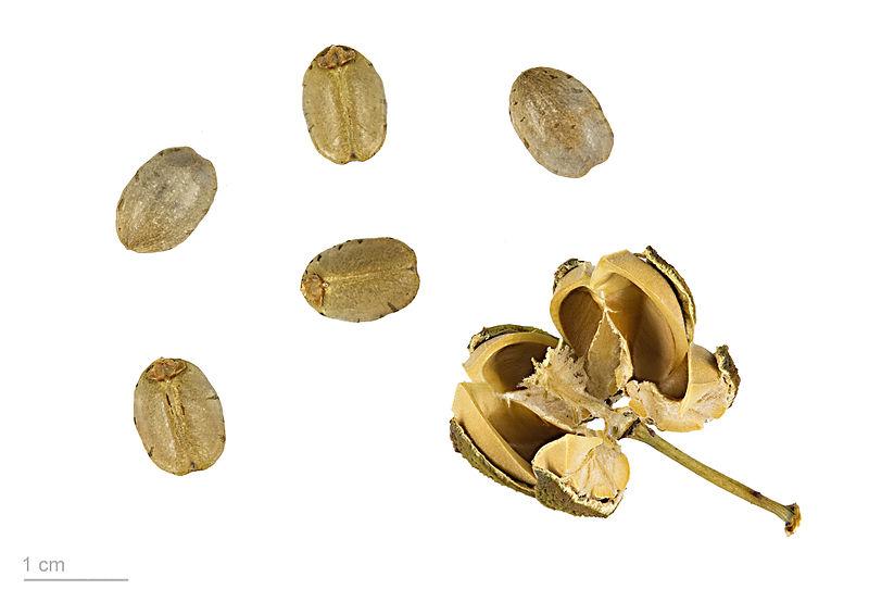 Cây sắn,củ sắn,khoai mì,củ khoai mì,cây khoai mì,Manihot esculenta,cassava, tapioca,yuca,mandioca,manioc,maniok,singkong,ubi kayu,aipim,macaxeir,kappa,maracheeni,họ đại kích,Euphorbiaceae,cây lương thực,cây thực phẩm