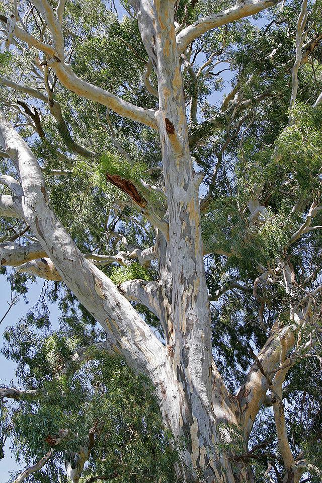 Cây bạch đàn trắng 700 năm tuổi ở Wonga Wetlands, NSW, Úc